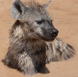 Spotted Hyena 1 by EyeMeMyself