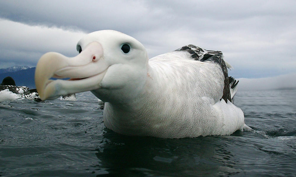 wandering albatross (c) naturepl.com Barry Bland W by Sokolva