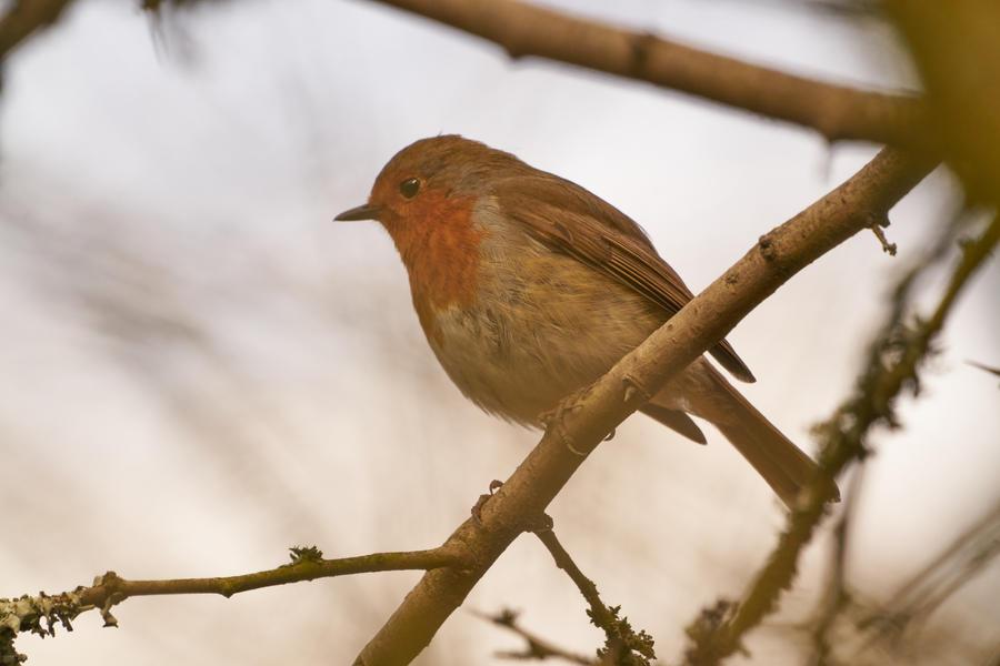 European robin (Erithacus rubecula) - 09 by jon-hill987
