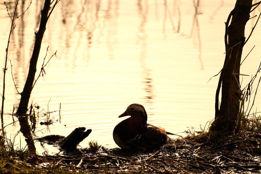 Mandarin Duck Silhouette by jon-hill987