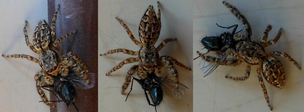 Jumping Spider by Seitira