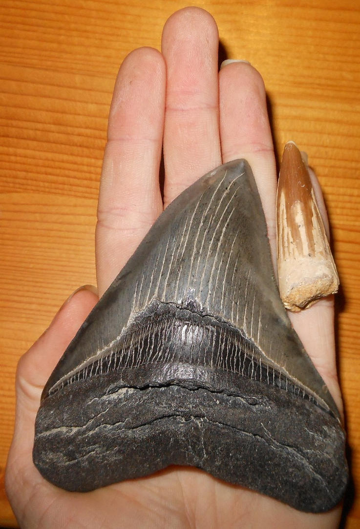 Megalodon and Spinosaurus Tooth by Seitira
