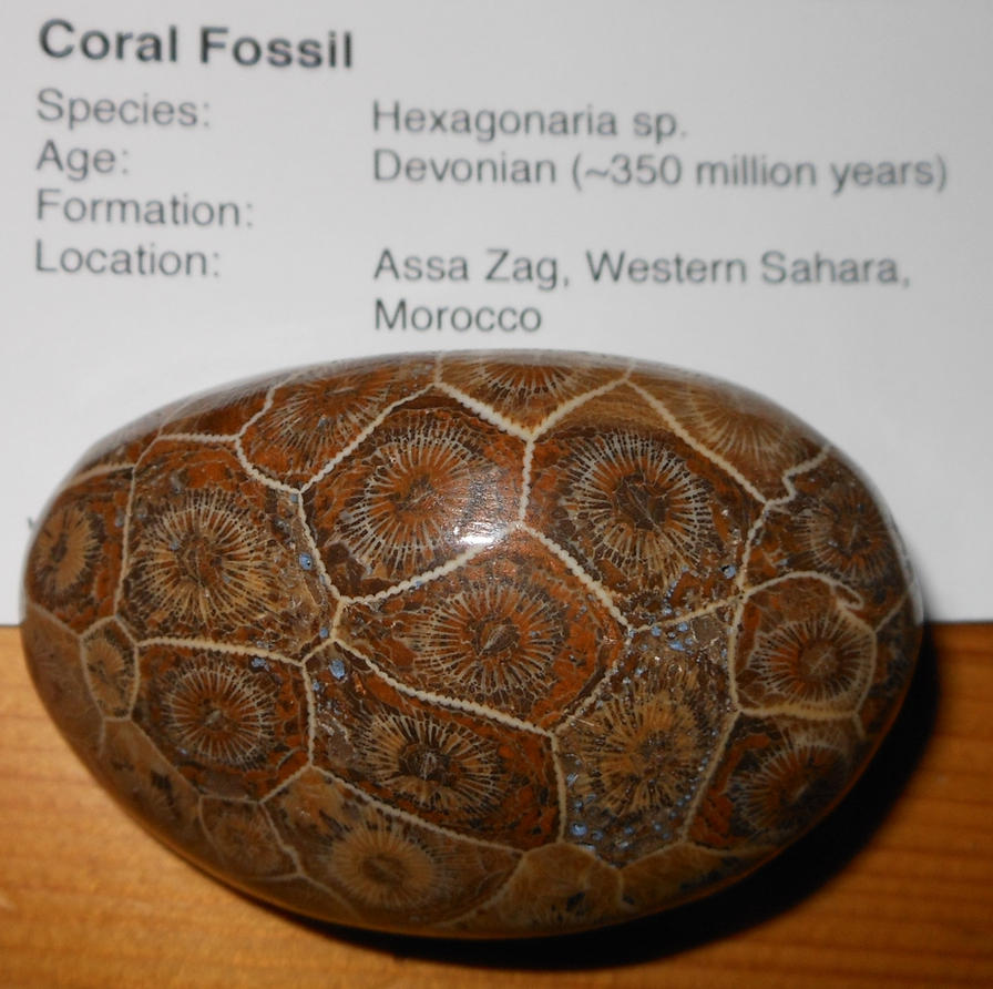 Polished Coral Fossil by Seitira