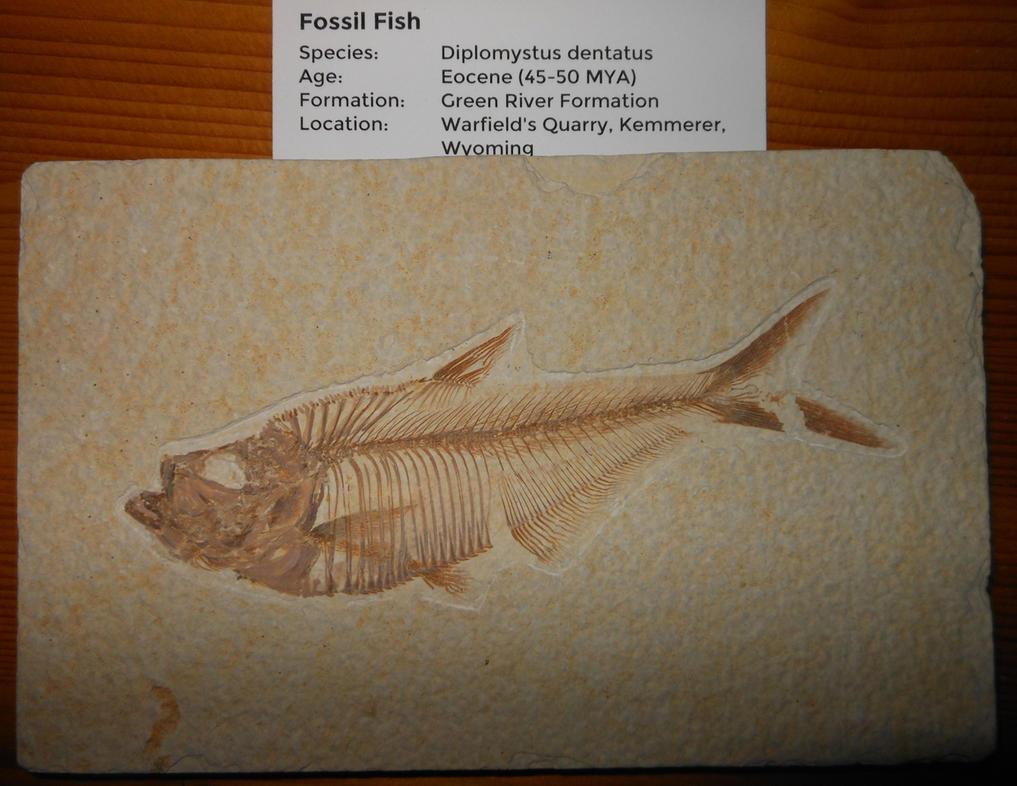 Diplomystus Fish Fossil by Seitira