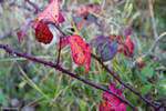 blackberry tendril in autumn, red