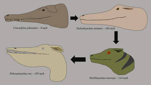 Evolution of dragon head morphology