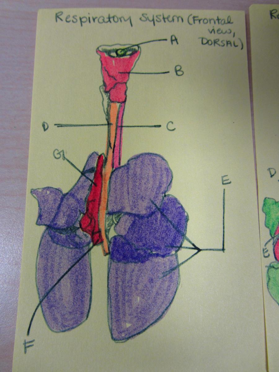 Dorsal view respiratory system of fetal pig draw by ohmyhii on dorsal view respiratory system of fetal pig draw by ohmyhii ccuart Choice Image