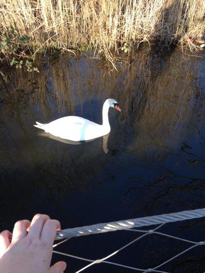 Swan by Romyislief
