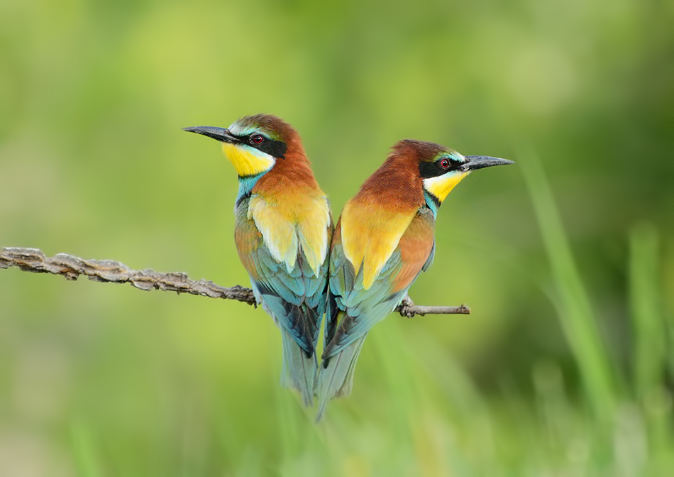 Bee eaters by corsuse
