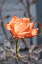 Pale Orange Rose
