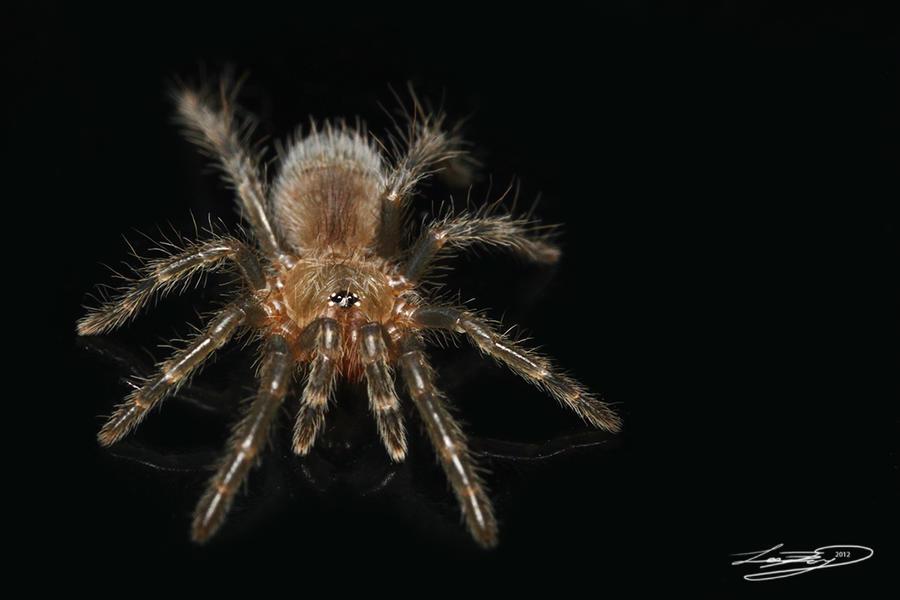 mexican red rump tarantula spiderling by forsakenraptor on