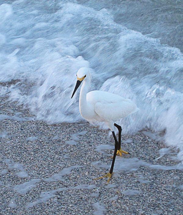 Snowy Egret by PatriciaRodelaArtist