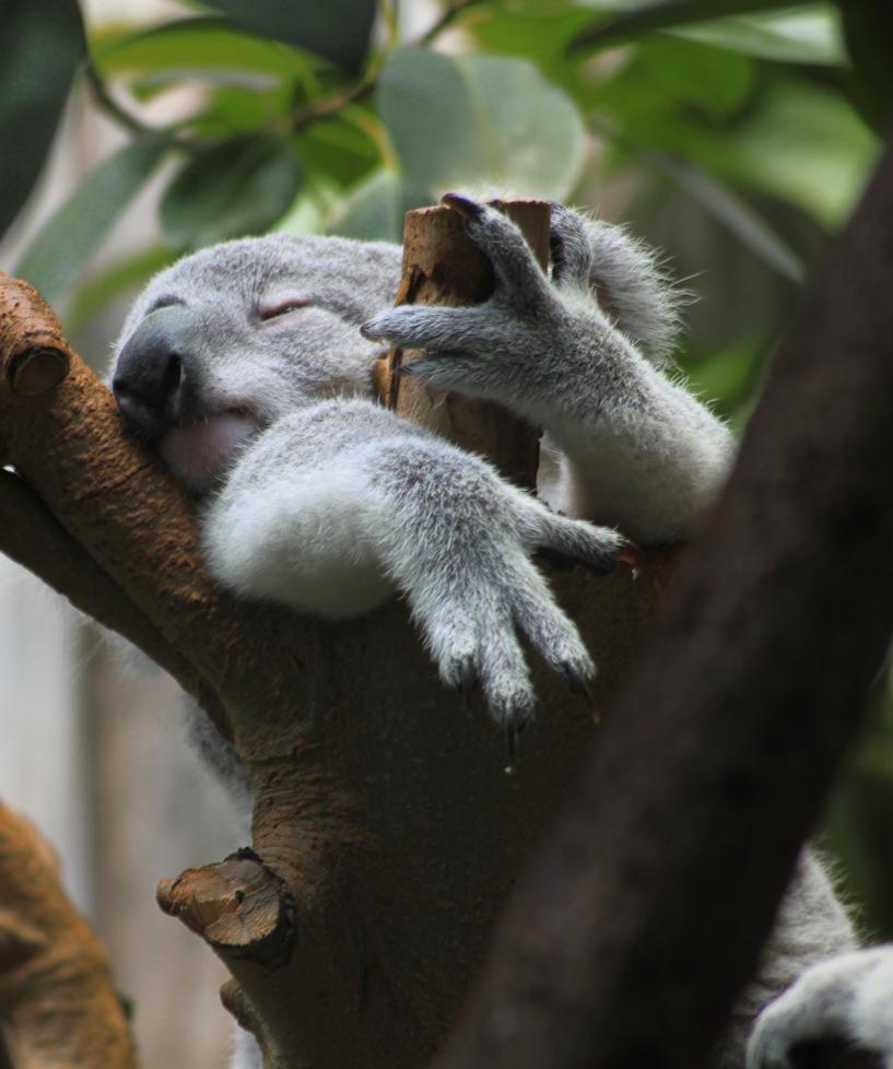 Sleeping koala by Dylan-Fly