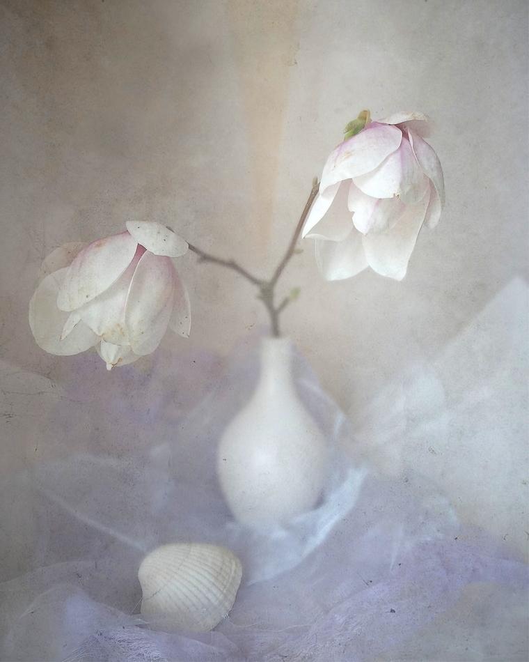 Magnolia dream... by Luciuuu