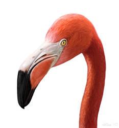 American Flamingo Study by Abiogenisis