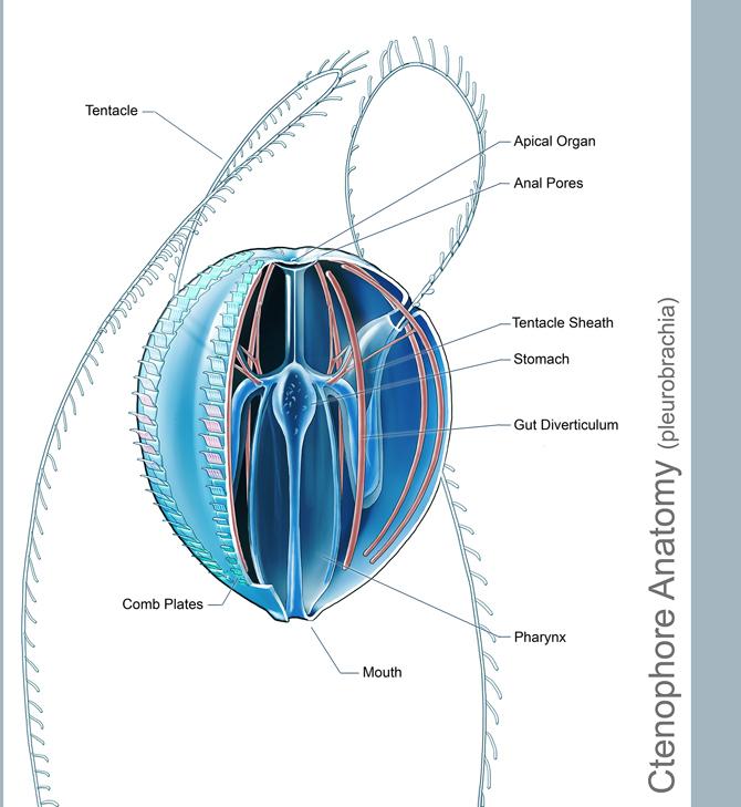 Ctenophore Anatomy By Abiogenisis On Deviantart