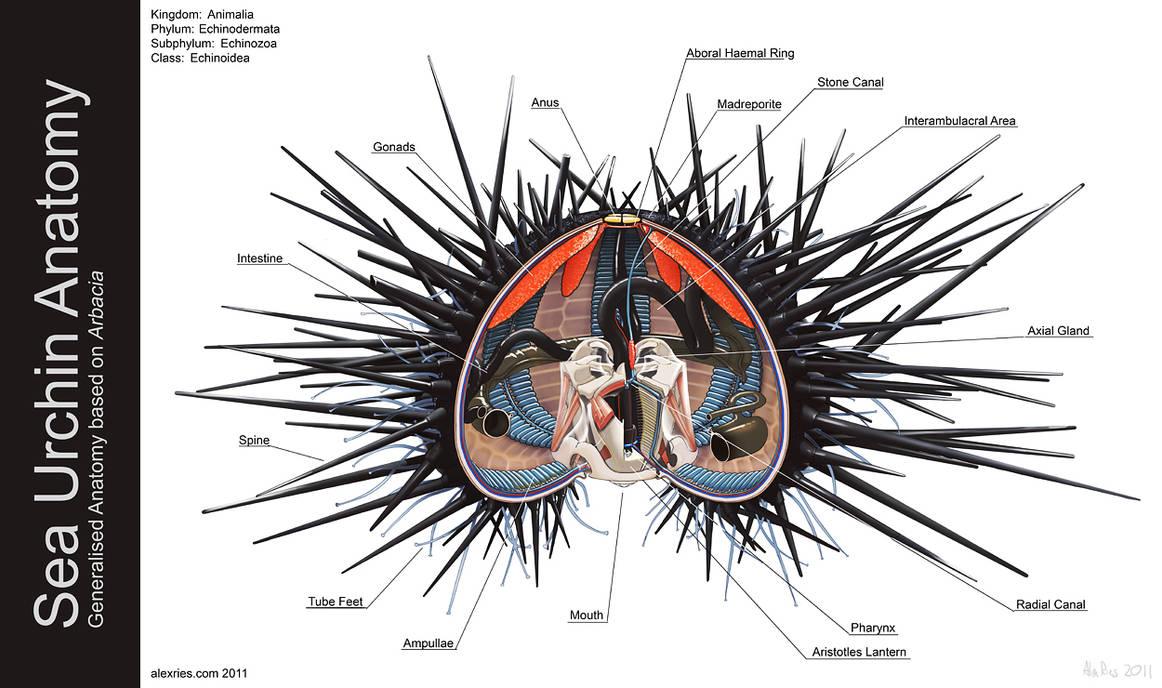Sea Urchin Anatomy By Abiogenisis On Deviantart