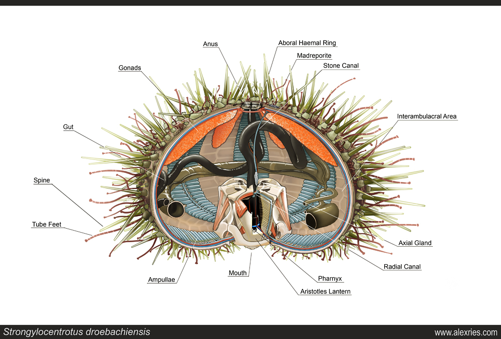 Sea Urchin Dissection Diagram - Electrical Work Wiring Diagram •
