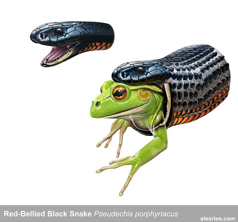 Red-Bellied Black Snake by Abiogenisis on DeviantArt