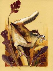 Rufuos-tailed scrub robin