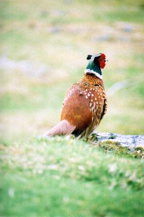 Pheasant by bakedbeanz