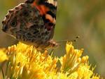 Butterfly on Rabbitbush