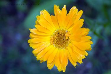 Little Yellow by Bonnyflower