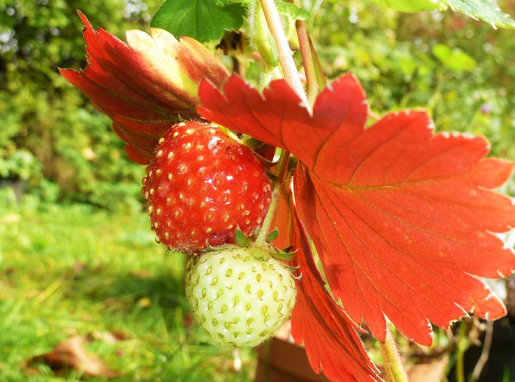 Red Autumn/ Late Strawberry! by mockingbirdontree