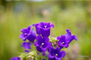Purple flowers by allim7905