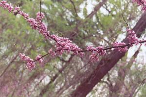 Sakura Petals by omisgirl