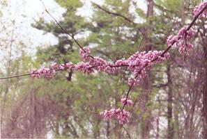 Sakura Petals 2 by omisgirl