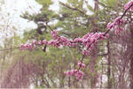 Sakura Petals 2