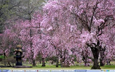 Sakura Blossom Desktop