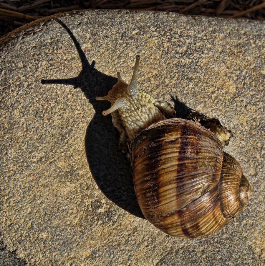 Snail shadow by SyllAndy