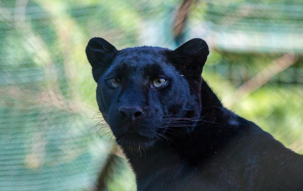Black Panther By Portela On Deviantart: Black Panther By Scara1984 On DeviantArt