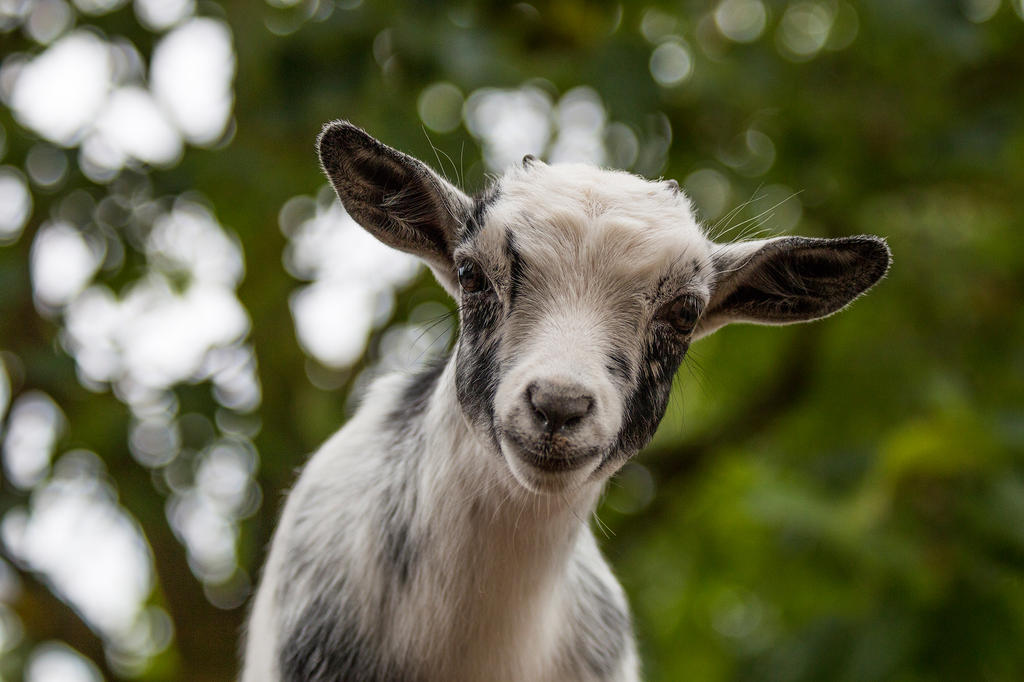 Goat by Scara1984