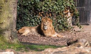 Asiatic lion (Jari)