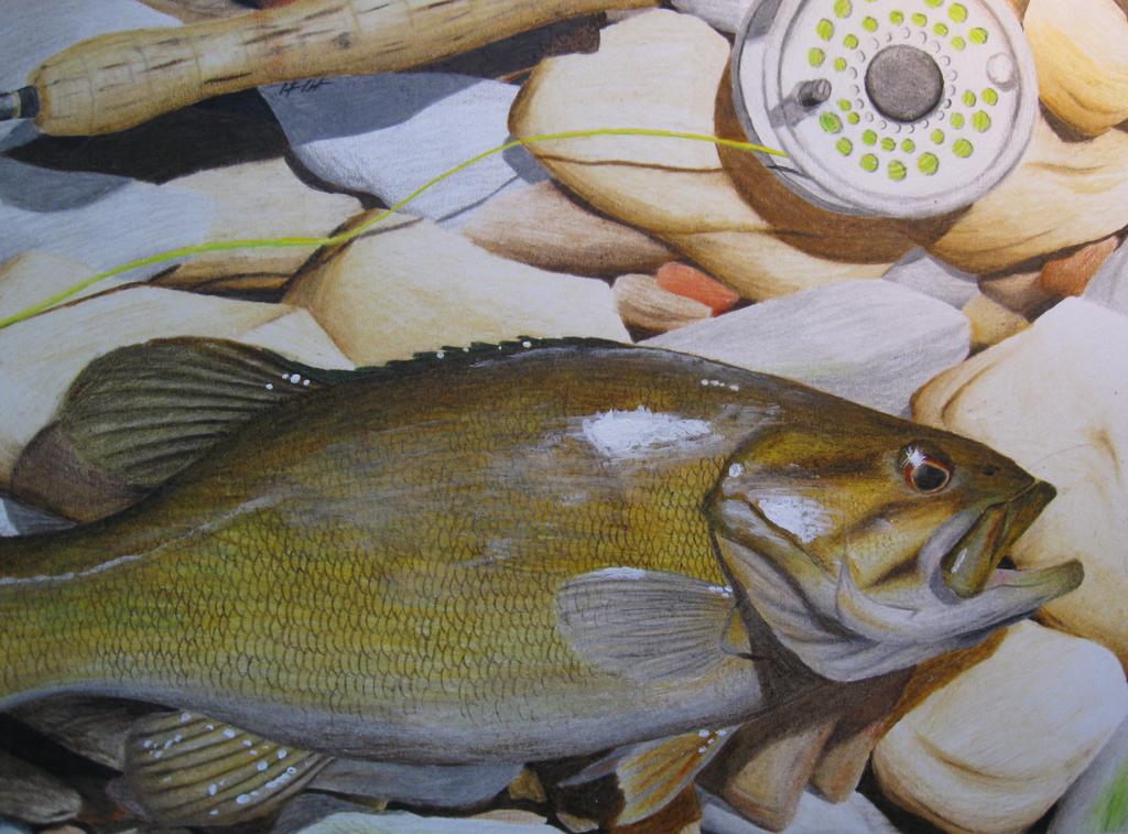 Smallmouth Bass Colored Pencil By DerBrotkorb