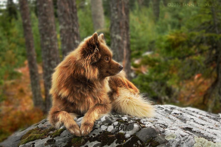 Lapphund by Jansu95