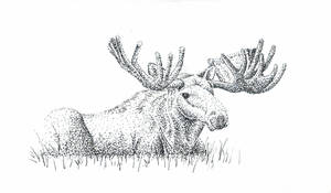Moose in Pen