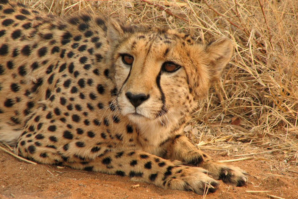 Pretty face, cheetah by bestgamer