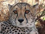 Cheetah Portraits - Kayla