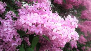 Spring's Fragrant Garb