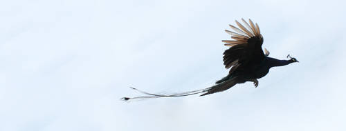 Peacock by Stevoa5