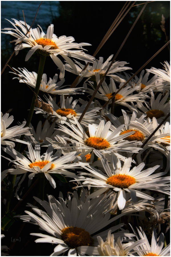 CVECE - Page 2 Daisy_by_guille1701-d3bttdk