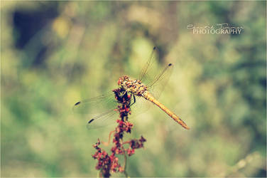 Dragonfly002 by ischarm
