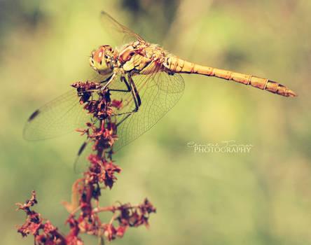 Dragonfly003