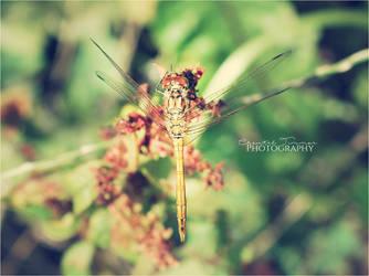 Dragonfly004