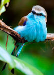Racket-Tailed Roller
