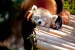 Red Panda V